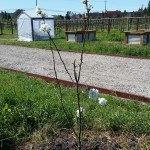 Building the road- Fruit Tree Alley