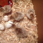 Hatching Eggs At Home