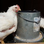 Raising the Cornish Rock Meat Chicken (There, we did it – won't do it again)