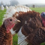 Keeping Bourbon Red Turkeys